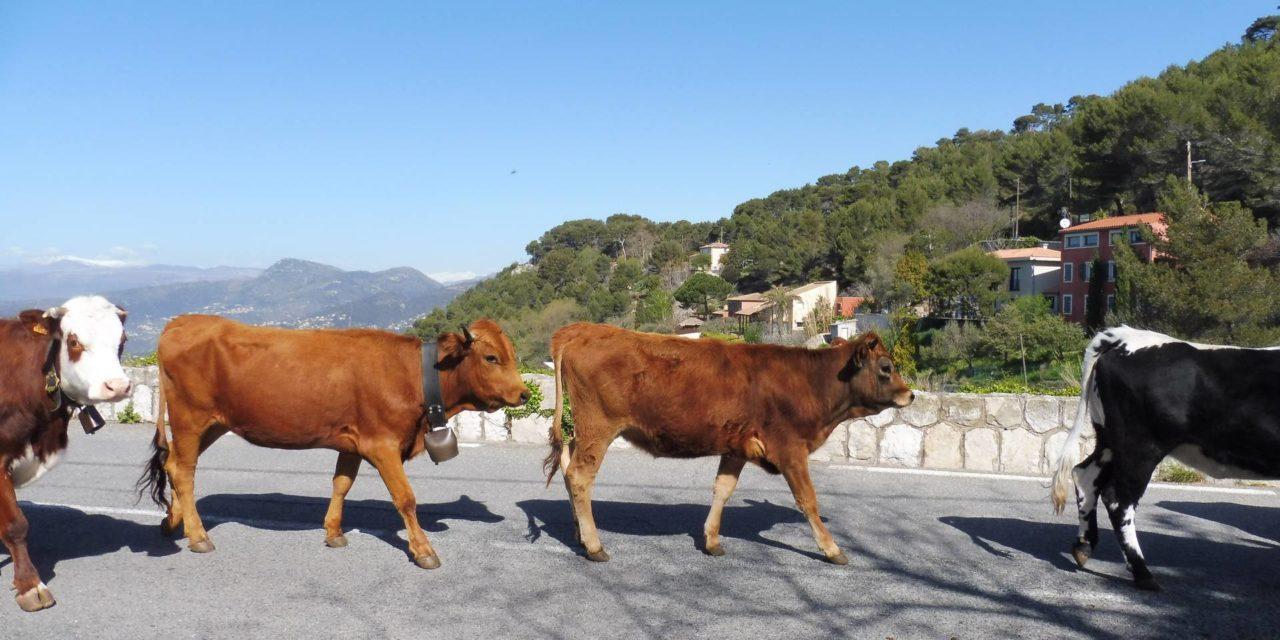 Alpes-Maritimes – Transhumance à pied sur la Côte d'Azur